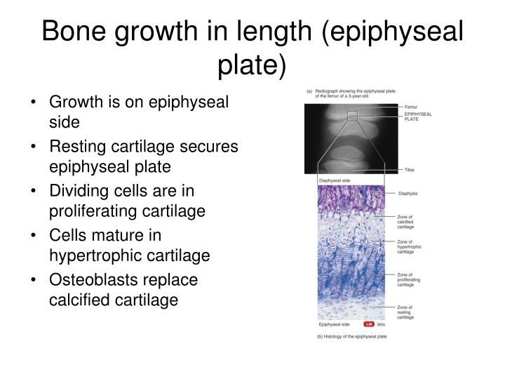 Bone growth in length (epiphyseal plate)