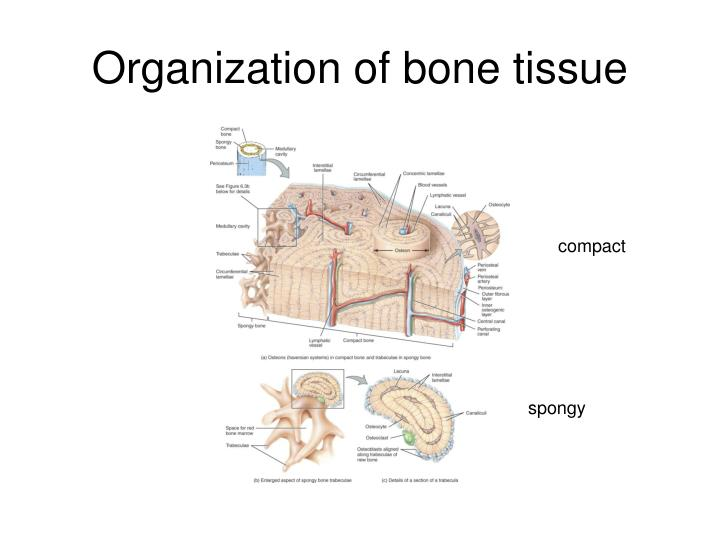 Organization of bone tissue