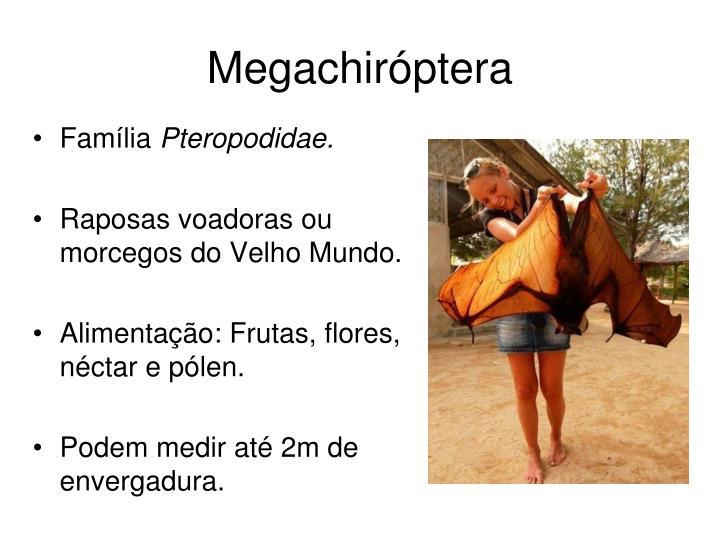 Megachiróptera