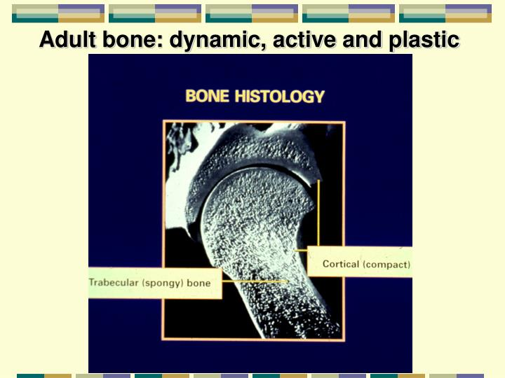 Adult bone: dynamic, active and plastic