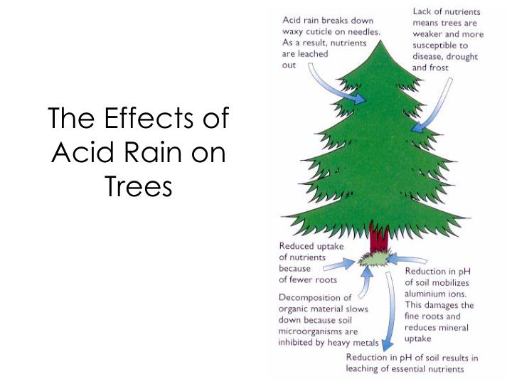 The Effects of Acid Rain on Trees