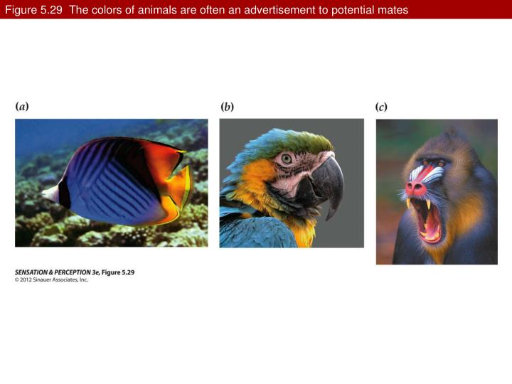 Figure 5.29  The colors of animals are often an advertisement to potential mates
