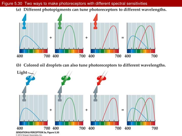 Figure 5.30  Two ways to make photoreceptors with different spectral sensitivities