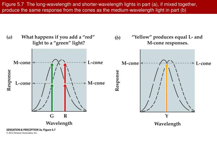 Figure 5.7  The long-wavelength and shorter-wavelength lights in part (a), if mixed together, produce the same response from the cones as the medium-wavelength light in part (b)