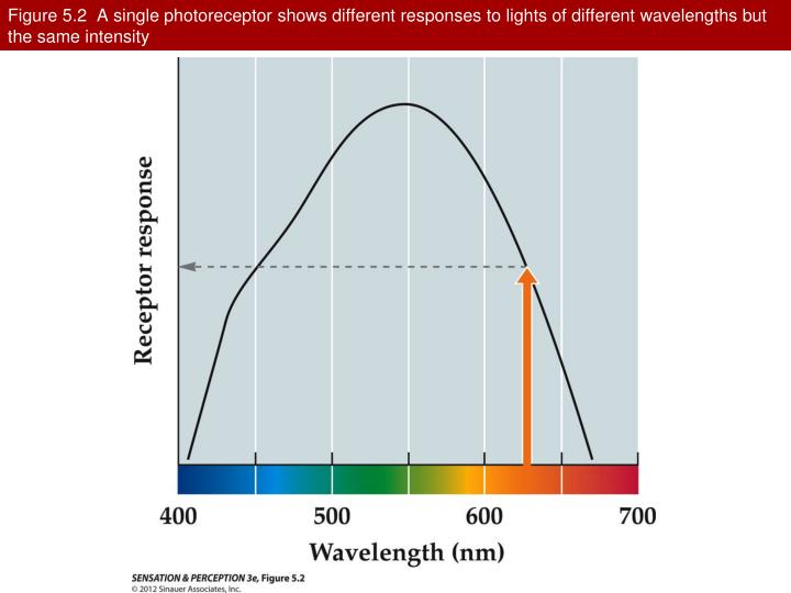 Figure 5.2  A single photoreceptor shows different responses to lights of different wavelengths but the same intensity