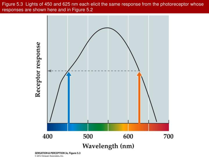Figure 5.3  Lights of 450 and 625 nm each elicit the same response from the photoreceptor whose responses are shown here and in Figure 5.2