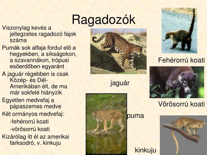 Fehérorrú koati