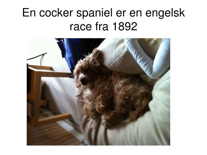 En cocker spaniel er en engelsk race fra 1892