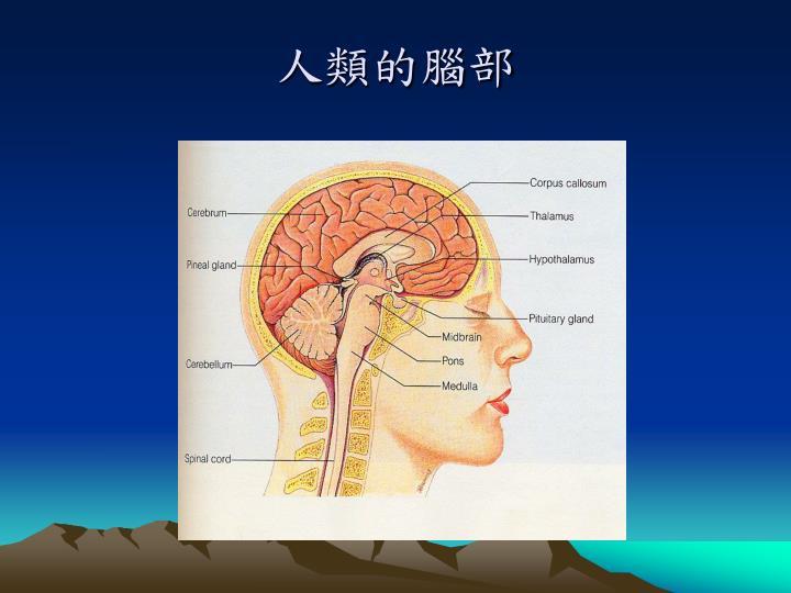 人類的腦部