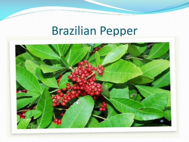 Brazilian Pepper