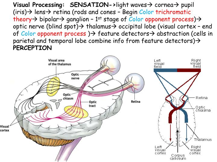 Visual Processing:  SENSATION->