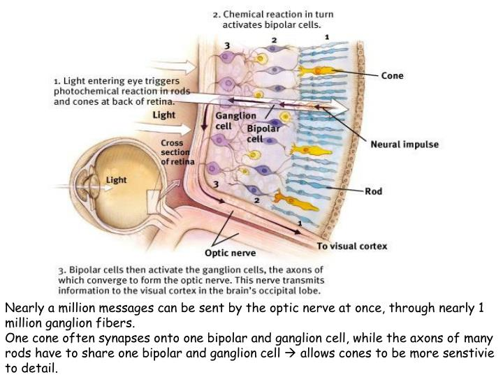 Nearly a million messages can be sent by the optic nerve at once, through nearly 1 million ganglion fibers.