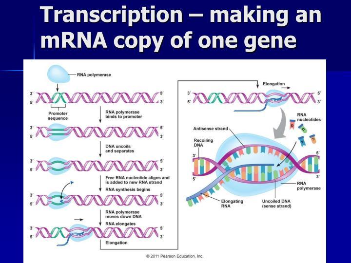 Transcription – making an mRNA copy of one gene