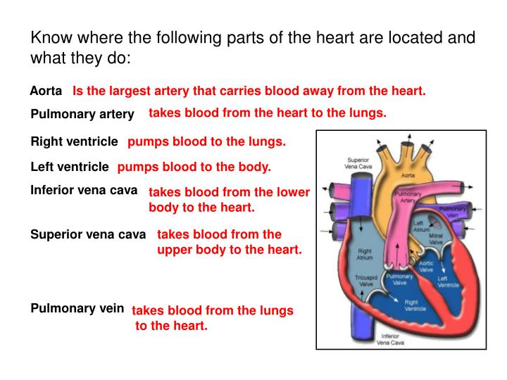 Know where the following parts of the heart are located and what they do: