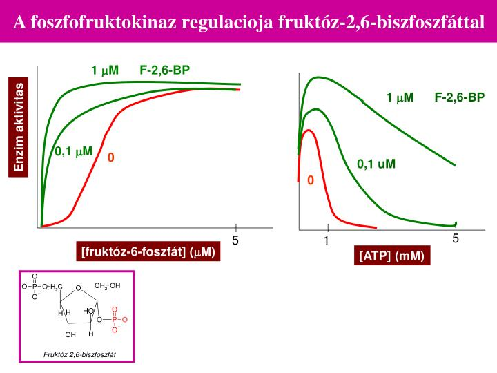 A foszfofruktokinaz regulacioja fruktóz-2,6-biszfoszfáttal