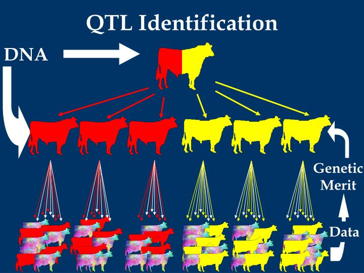 QTL Identification
