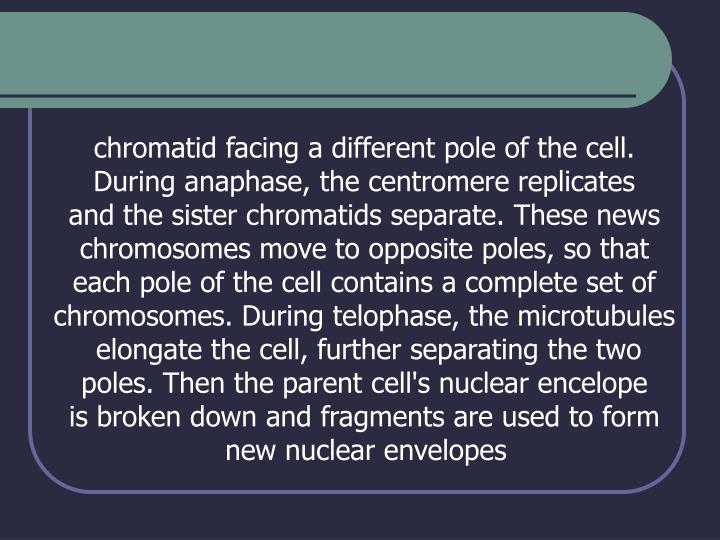 chromatid facing a different pole of the cell.