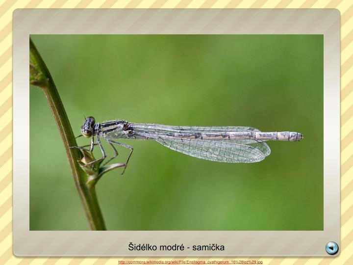 Šidélko modré - samička