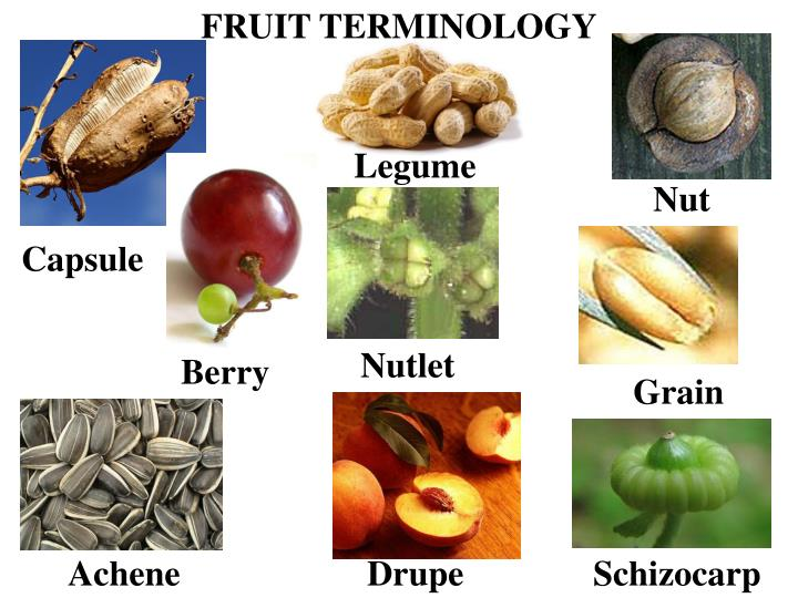 FRUIT TERMINOLOGY
