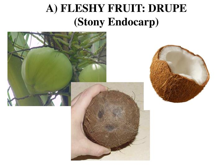 A) FLESHY FRUIT: DRUPE
