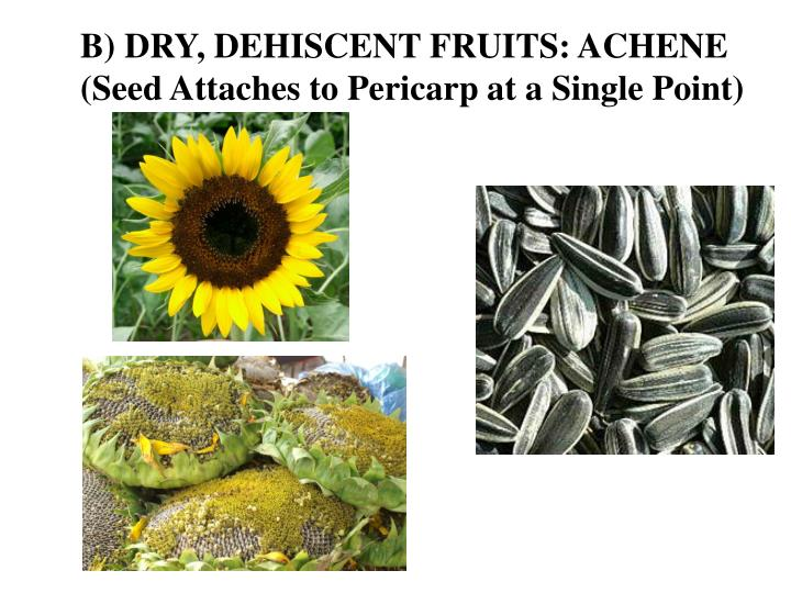 B) DRY, DEHISCENT FRUITS: ACHENE