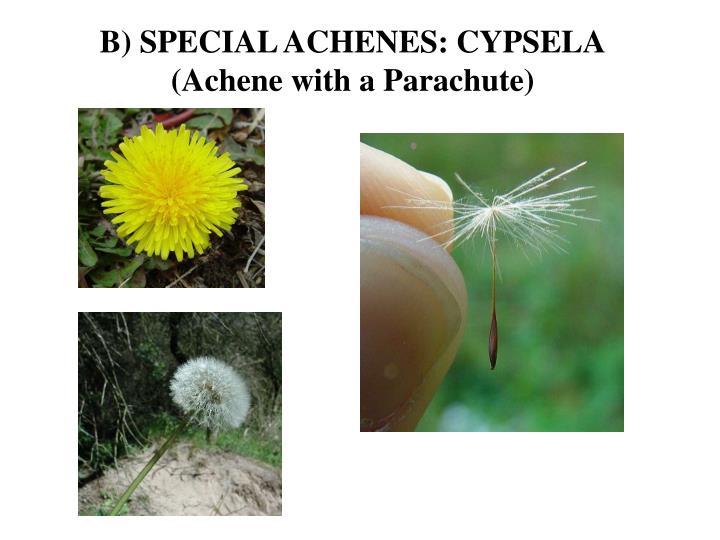 B) SPECIAL ACHENES: CYPSELA
