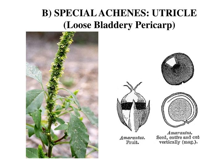 B) SPECIAL ACHENES: UTRICLE