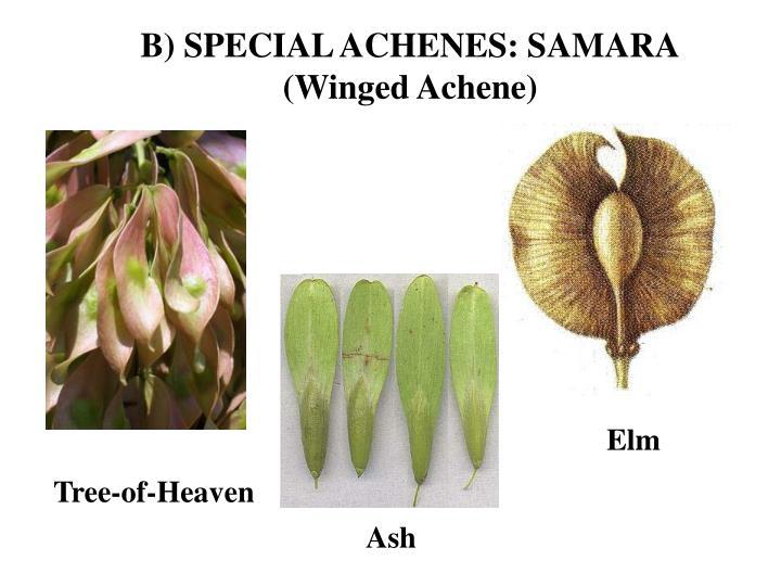 B) SPECIAL ACHENES: SAMARA