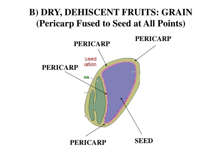 B) DRY, DEHISCENT FRUITS: GRAIN