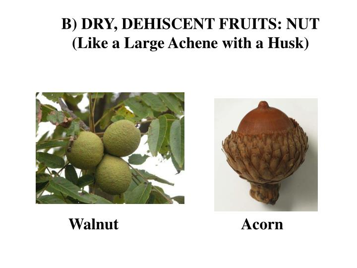 B) DRY, DEHISCENT FRUITS: NUT