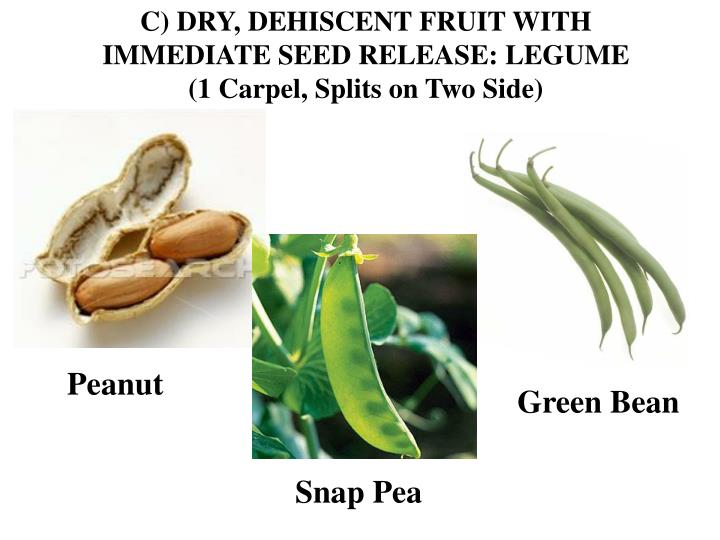 C) DRY, DEHISCENT FRUIT WITH