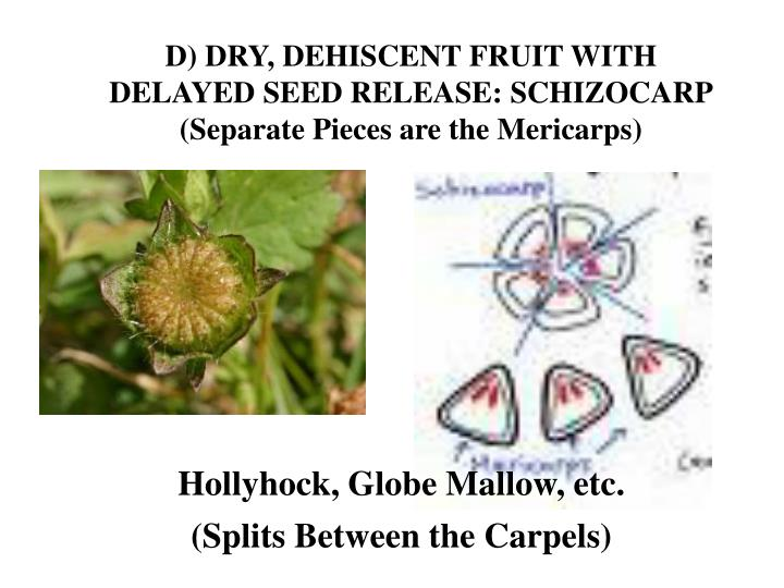 D) DRY, DEHISCENT FRUIT WITH