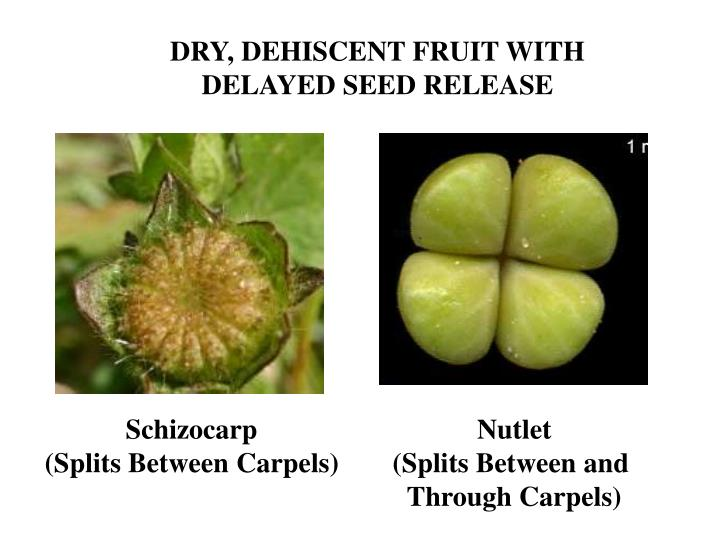 DRY, DEHISCENT FRUIT WITH