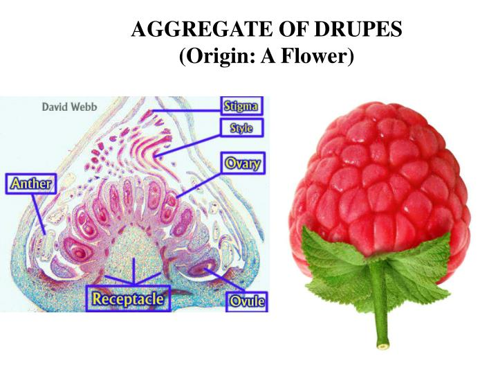 AGGREGATE OF DRUPES