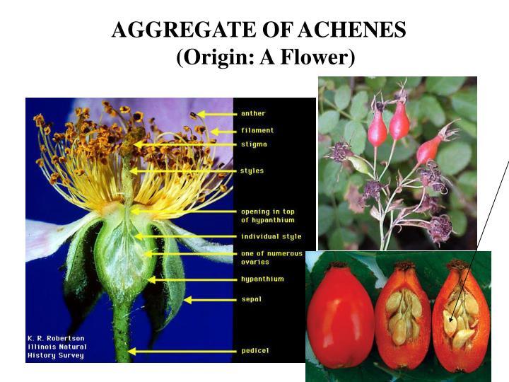 AGGREGATE OF ACHENES