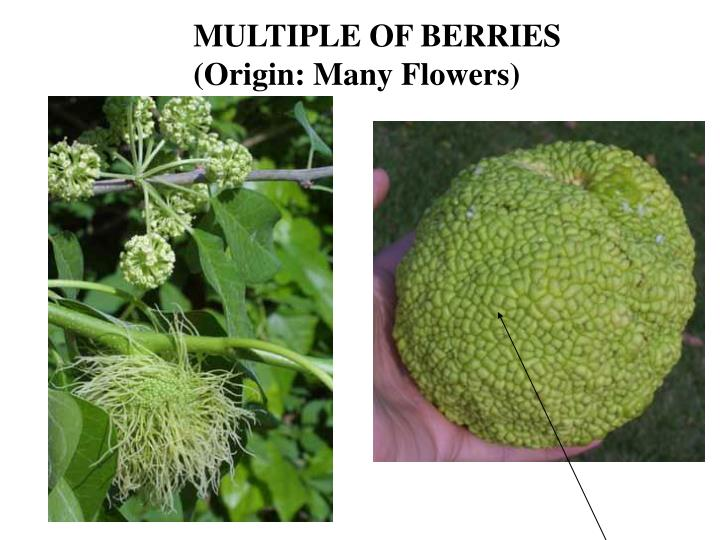 MULTIPLE OF BERRIES