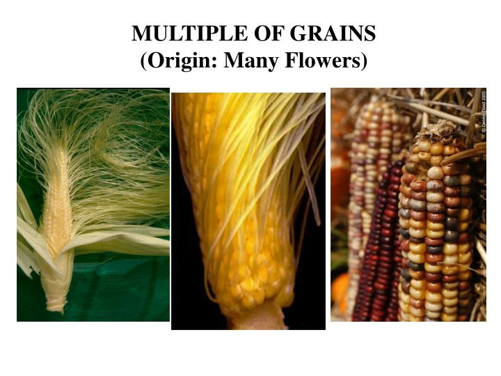 MULTIPLE OF GRAINS