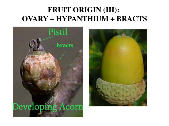 FRUIT ORIGIN (III):