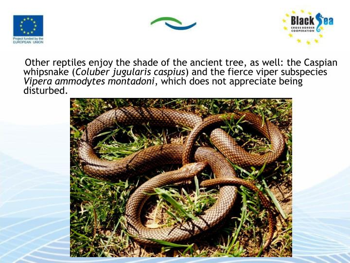 Other reptiles enjoy the shade of the ancient tree, as well: the Caspian whipsnake (