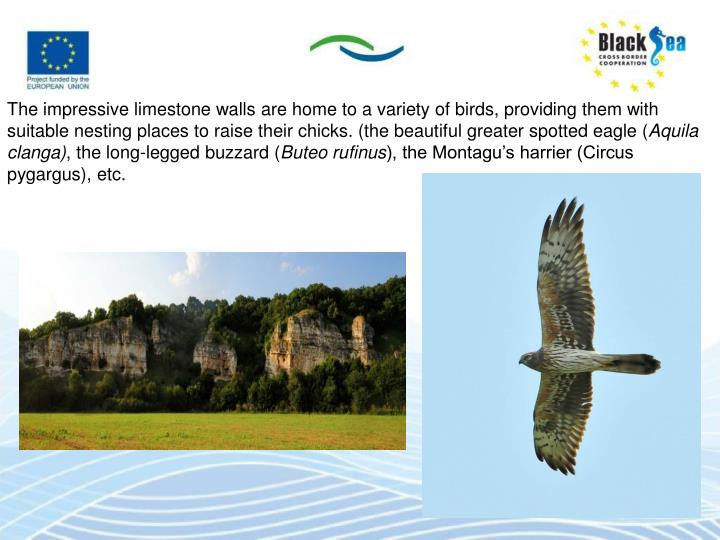 The impressive limestone walls are home to a variety of birds, providing them with suitable nesting places to raise their chicks. (the beautiful greater spotted eagle (