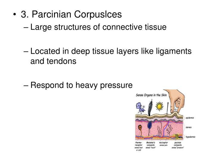3. Parcinian Corpuslces