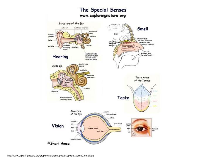 http://www.exploringnature.org/graphics/anatomy/poster_special_senses_small.jpg