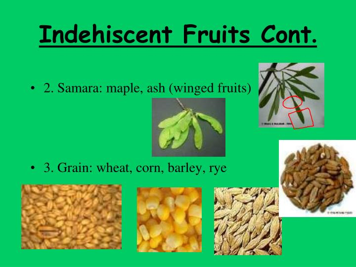 Indehiscent Fruits Cont