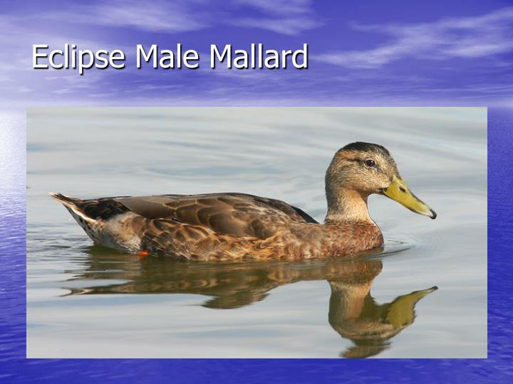 Eclipse Male Mallard