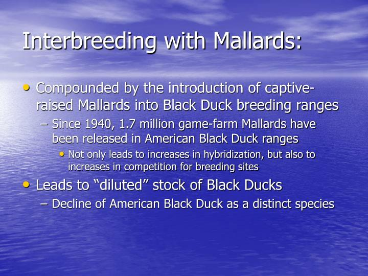 Interbreeding with Mallards:
