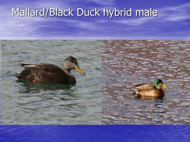 Mallard/Black Duck hybrid male