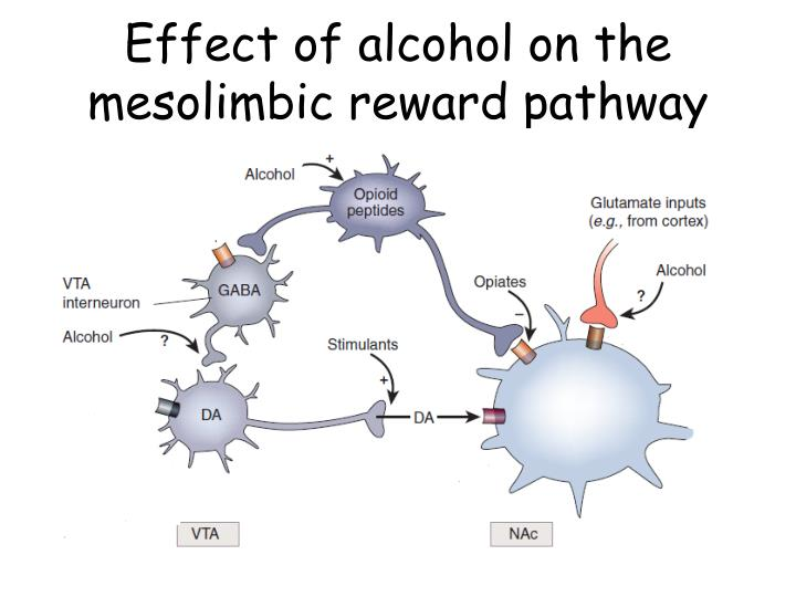 Effect of alcohol on the mesolimbic reward pathway