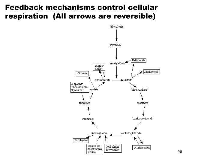 Feedback mechanisms control cellular respiration  (All arrows are reversible)
