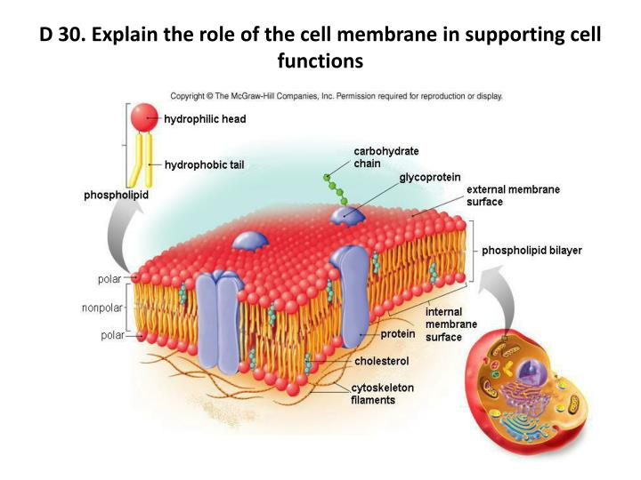 D 30. Explain the role of the cell membrane in supporting cell functions