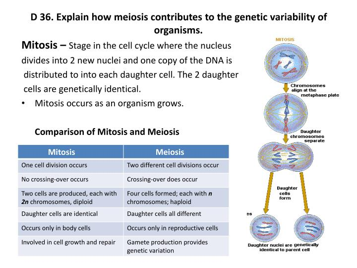 D 36. Explain how meiosis contributes to the genetic variability of organisms.